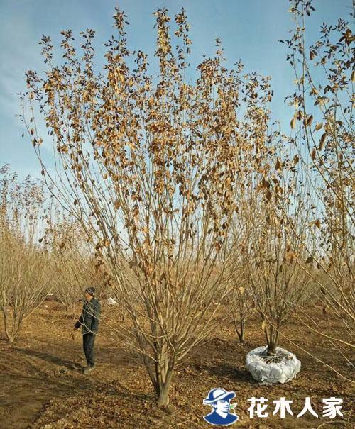 丛生白蜡种植基地