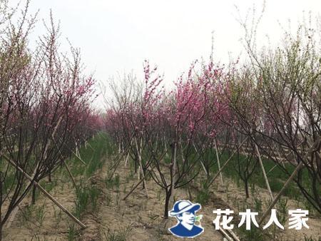 榆叶梅种植基地
