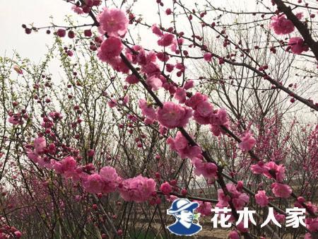 榆叶梅苗圃