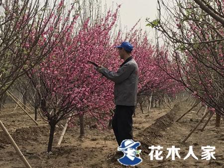 榆叶梅种植管理技术
