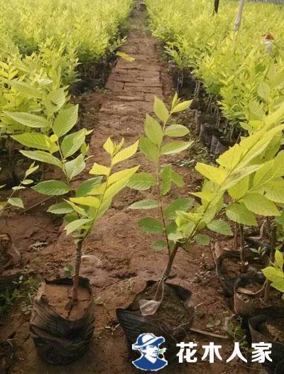 营养钵金叶榆篱苗