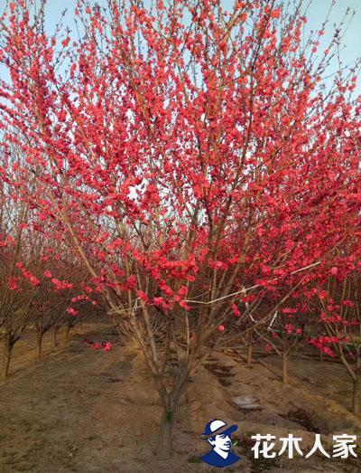 碧桃的种植栽培管理技术