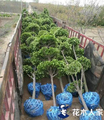 苗木行业致富新模式-造景育苗