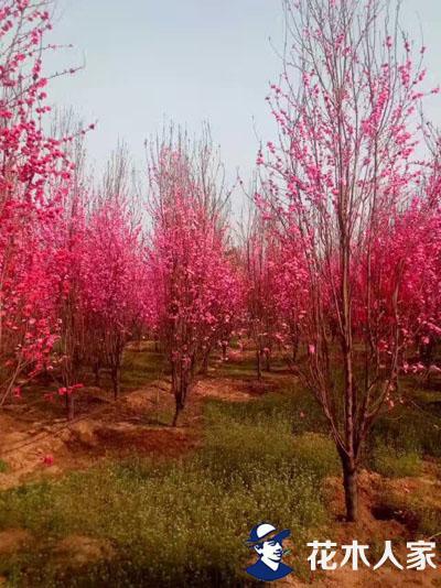 龙柱碧桃种植基地