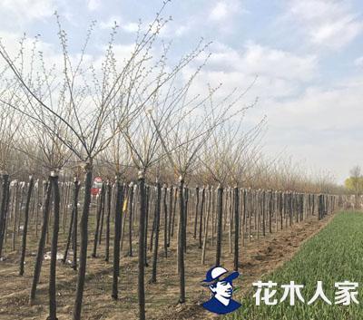 河北保定:'长枝榆'成榆树中的销售魁首