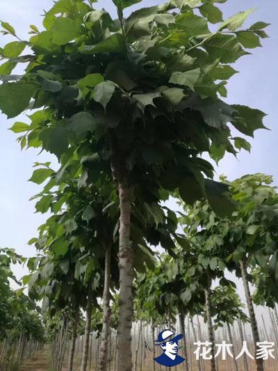 裂叶榆种植基地