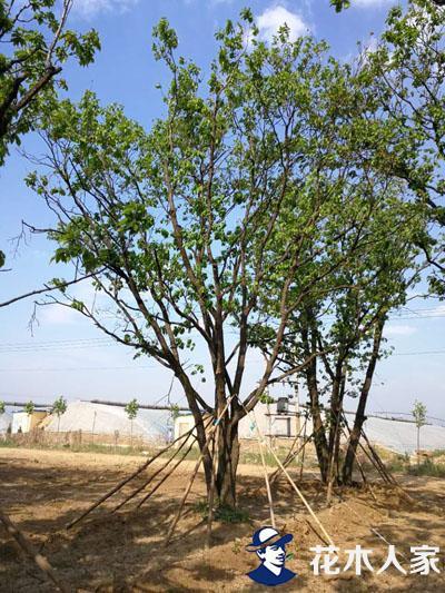丛生蒙古栎图片