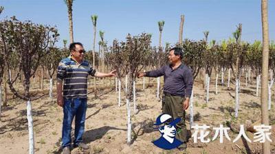 夏季绿化工程假植苗木有大市场