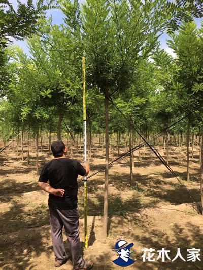 国槐树照片