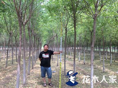 丝棉木苗圃图片