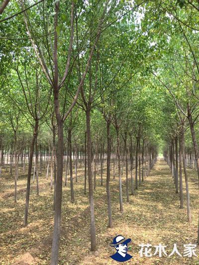 丝棉木基地实景照片