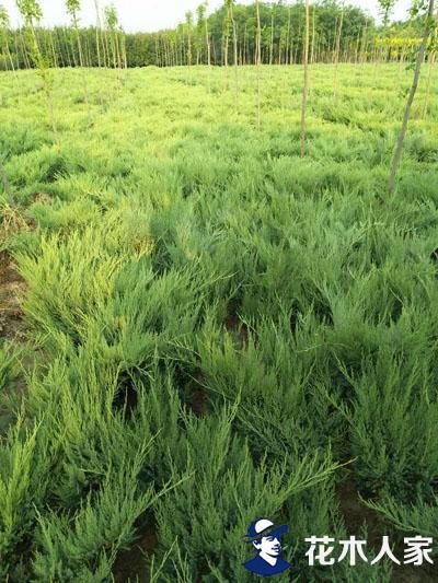 沙地柏苗圃图片