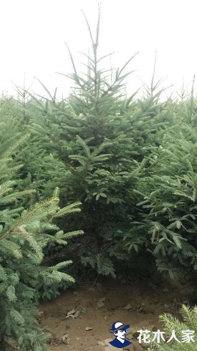 云杉的栽植和管理技术