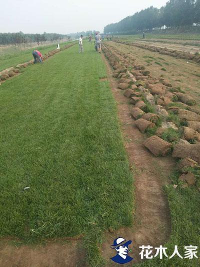 早熟禾栽植基地