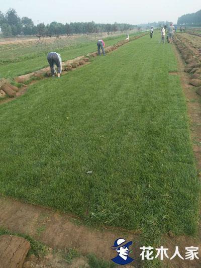 早熟禾草坪基地