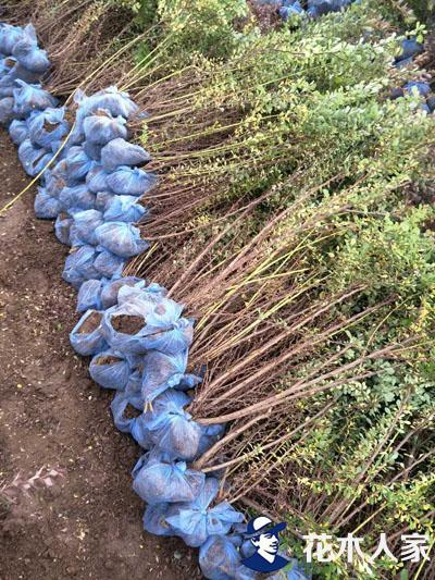 紫叶小檗小苗价格大幅反弹原因