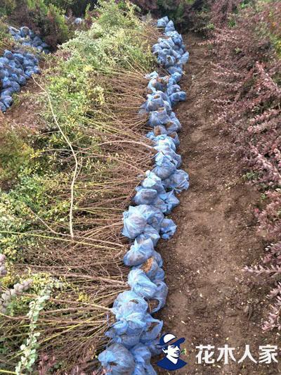 红叶小檗苗圃图片