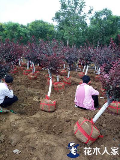 今后苗木种植有哪些新路线可走?