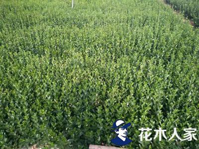 大叶黄杨基地实景照片