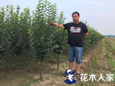 西府海棠照片