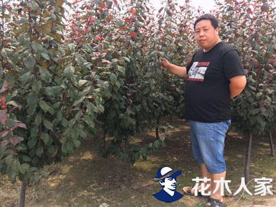 红叶李和紫叶李有什么不同区别?