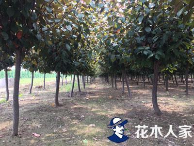 红叶李苗圃图片