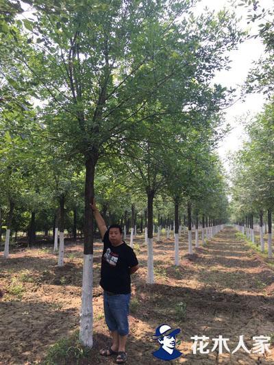 白蜡苗圃种植日常管理方法