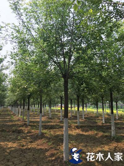 精品白蜡树照片