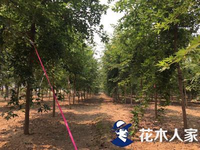五角枫将是北方市场紧俏树种