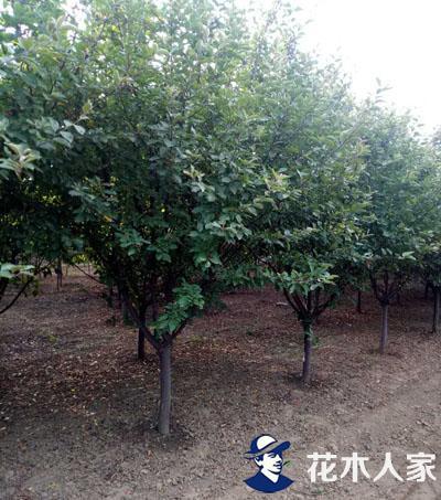 亚当海棠种植基地