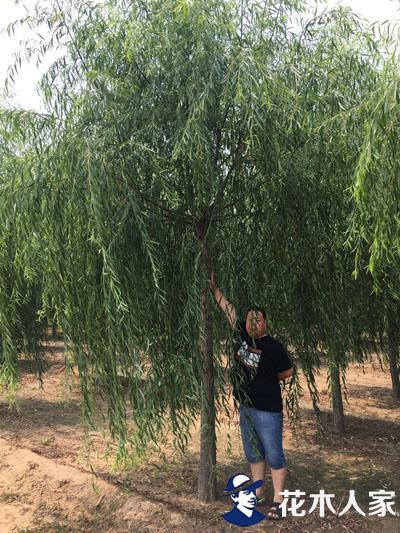 垂柳园林用途及种植管理方法