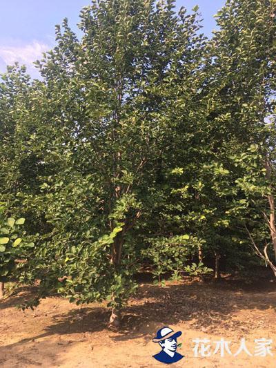 玉兰树产地园林用途