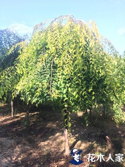 金叶垂榆树
