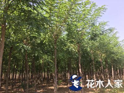 刺槐种植管理及园林绿化用途