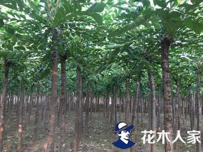 长枝榆苗圃