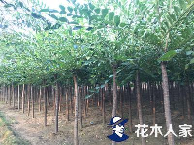 长枝榆种植基地