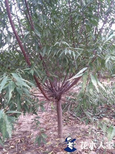 山桃种植基地