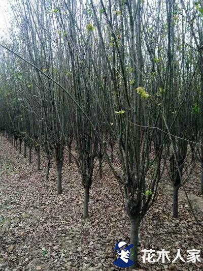 西府海棠种植管理方法及园林绿化用途