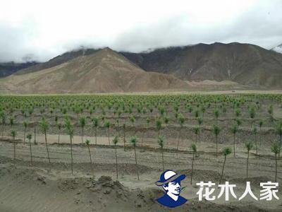 本苗圃速生柳在西藏种植效果