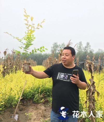 金叶榆扦插繁殖死亡率高怎么办?