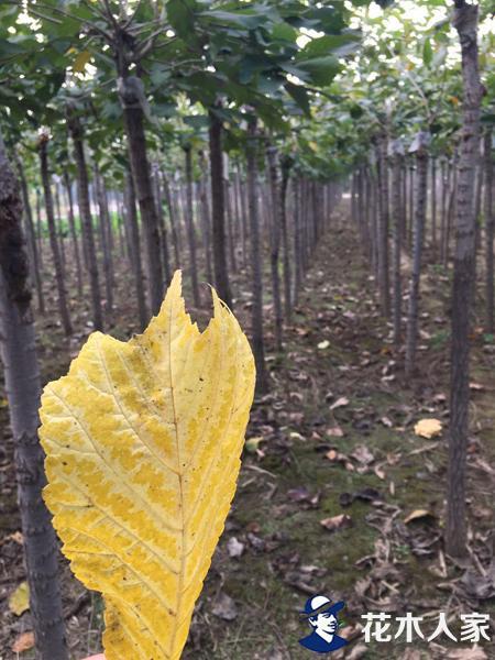 裂叶榆苗圃基地实景图片