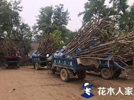 火炬树种植管理技术