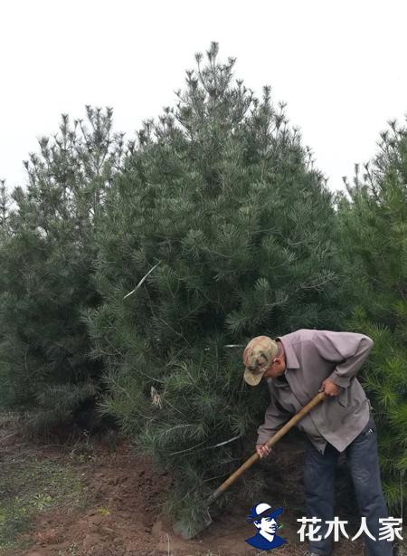 大型白皮松苗木移植假活技术