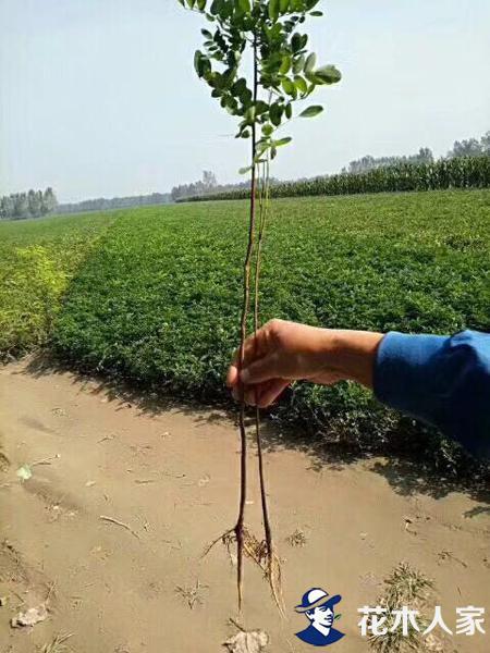 紫穗槐栽培种植管理技术