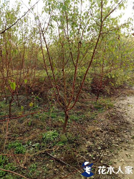 山杏树基地实景照片