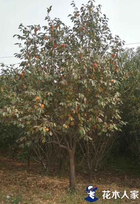 柿子树基地实景图片