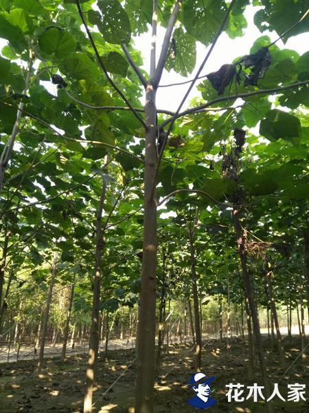 泡桐树基地实景照片