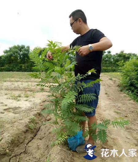 黄刺玫园林用途及形态特征