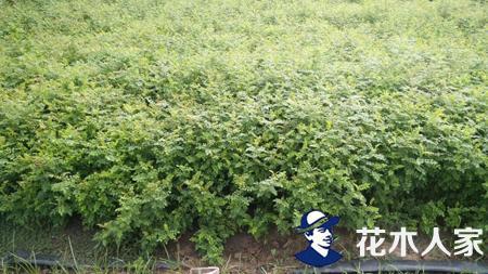 黄刺玫基地实景照片