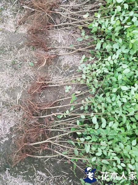 扦插金叶榆基地实景照片